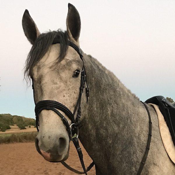 Irish Draught Sporthorse