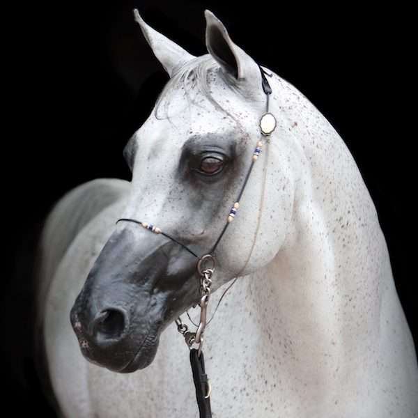Polish Arabian